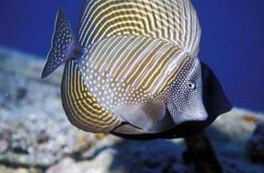 Indian sailfish